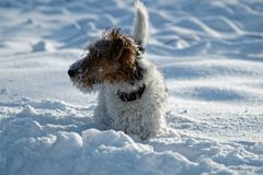 Dog in winter for a walk. Royalty Free Stock Photography