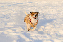 Dog rushes across snow field. Jack Russell Terrier running quickly Royalty Free Stock Images