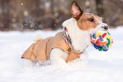 Dog rushing through deep snow with colorful toy in mouth Royalty Free Stock Photos