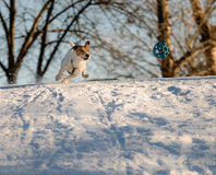 Dog rushing through snow chasing a ball. Goal oriented Jack Russell Terrier pet Stock Photos