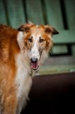 Dog Russian Borzoi portrait Royalty Free Stock Photos
