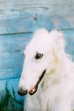 Dog Russian Borzoi Wolfhound Close Up Stock Photography