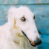 Dog Russian Borzoi Wolfhound Stock Photography