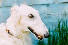 Dog Russian Borzoi Wolfhound Stock Image