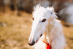 Dog Russian Borzoi Wolfhound Head , Outdoors Stock Photography