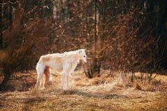 Dog Russian Borzoi Wolfhound, Head , Outdoors Spring, Autumn Season Royalty Free Stock Image