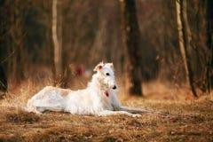 Dog Russian Borzoi Wolfhound Head , Outdoors Spring, Autumn Season Royalty Free Stock Photography
