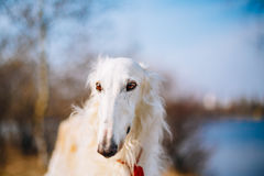 Dog Russian Borzoi Wolfhound Head , Outdoors Spring Autumn Time Stock Photography