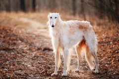 Dog Russian Borzoi Wolfhound Head , Outdoors Spring Autumn Time Royalty Free Stock Image