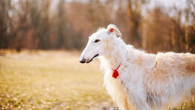 Dog Russian Borzoi Wolfhound Head , Outdoors Royalty Free Stock Photography