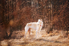 Dog Russian Borzoi Wolfhound Head , Outdoors Royalty Free Stock Images