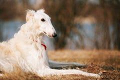 Dog Russian Borzoi Wolfhound Head , Outdoors Stock Image