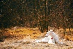 Dog Russian Borzoi Wolfhound Head , Outdoors Royalty Free Stock Photo