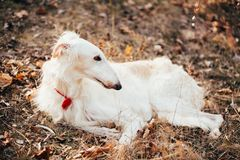 Dog Russian Borzoi Wolfhound Head , Outdoors Royalty Free Stock Image
