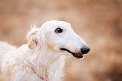 Dog Russian Borzoi Wolfhound Head , Outdoors Stock Photo