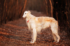 Dog Russian Borzoi Wolfhound Head , Outdoors Stock Image
