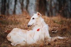 Dog Russian Borzoi Wolfhound Head , Outdoors Royalty Free Stock Photos
