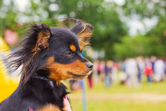 Dog Russian toy terrier breed Stock Image