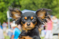 Dog Russian toy terrier breed Royalty Free Stock Photos
