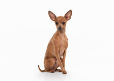 Dog. Russian toy terrier puppy on white background Royalty Free Stock Photography