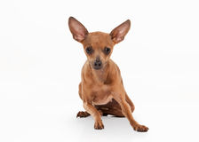 Dog. Russian toy terrier puppy on white background Stock Photos