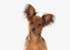 Dog. Russian toy terrier puppy on white background Stock Images