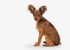 Dog. Russian toy terrier puppy on white background Royalty Free Stock Photo