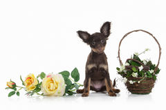Dog. Russian toy terrier puppy on white background Stock Photography