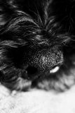 Dog& x27; s鼻子关闭 库存照片