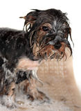 Dog's bathing Royalty Free Stock Images