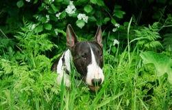 The dog`s bull terrier. The dog bull terrier eat verdure Stock Images