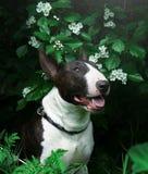 The dog`s bull terrier verdure. The dog bull terrier eat verdure stock image