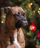 Dog's Cristmas Royalty Free Stock Images