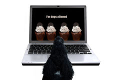 Dog`s desire. Cupcakes not forbidden for dogs .Poodle in front of a notebook looking advertisement stock photo