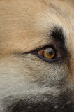 Dog's eye. A closeup shot of a dog's eyeball, the fur on his face is brown'sh, gold'sh, white and black stock photos