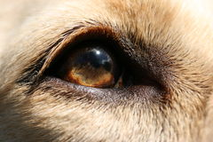 Dog's eye. Closeup of a light brown dog's eye Royalty Free Stock Images