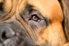 Dog's eye close-up Royalty Free Stock Photos