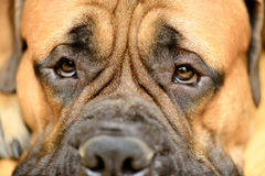 Dog's eye close-up Royalty Free Stock Photography