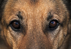 Dog's eyes. A close up of a german shepherd's eyes and some of its face Royalty Free Stock Images