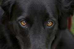 Dog's eyes. In this picture you see the eyes of a black dog. They are bright and affectionate, looking from the bottom up. The dogs look very much use to Royalty Free Stock Photo