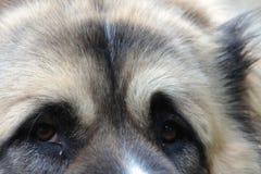 Dog's eyes. Caucasian shepherd's open air portrait - eyes Royalty Free Stock Images