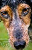 Dog's eyes. The orange piercing eyes of a dog Royalty Free Stock Photo