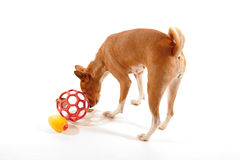 Dog's eyes are on the toys Stock Photos
