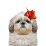 Dog's head decorated with beautiful rose. Isolated on white background stock photos
