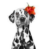 Dog's head decorated with rose. Dog's head decorated with beautiful red rose royalty free stock photos