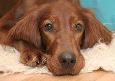 Dog's head detail. Portrait of a brown dog with floppy ears laying down facing forwards Royalty Free Stock Photos