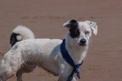 Dog`s heterochromia stock photography