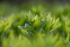 Dog& x27; s kwik & x28; Mercurialis perennis& x29; het groeien in hout stock fotografie