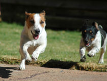 Dog's Life. Two Dogs running with selective focus on the dog in front royalty free stock images