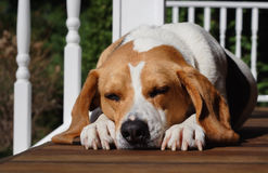 A dog's life. A sleeping dog lays on the porch of a house in the summer sun stock image